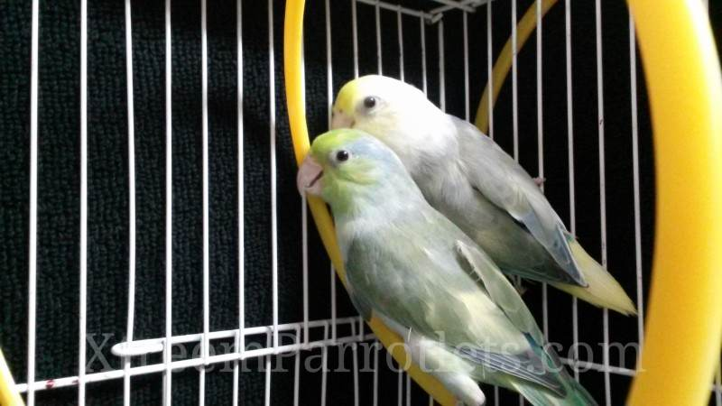 Pair of Rare Turquoise Pied Parrotlets