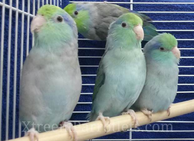 Turquoise Parrotlets
