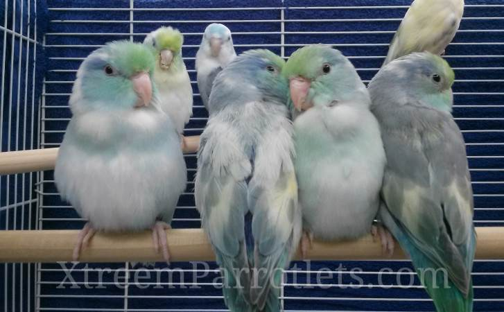 Turquoise Pied Parrotlet View 39