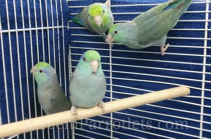 Beautiful Turquoise Parrotlets