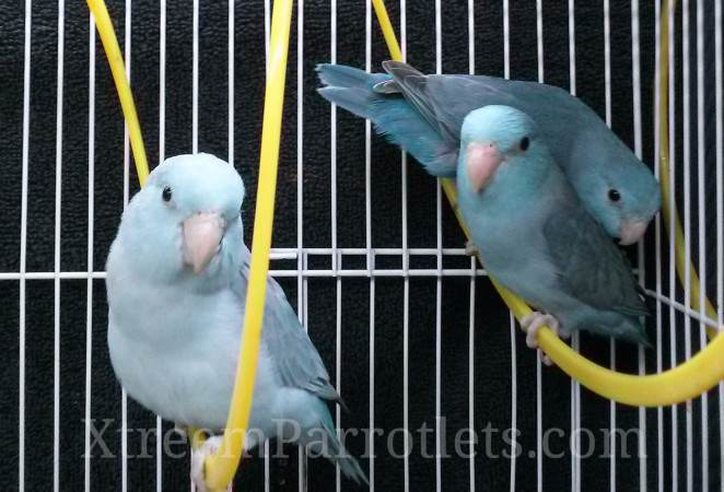 blue-parrotlet-group