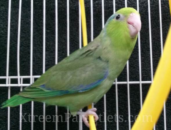 green-male-parrotlet-for-sale
