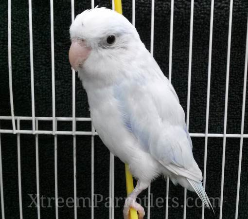 male-white-parrotlet-for-sale