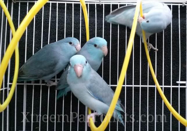 many-blue-parrotlets