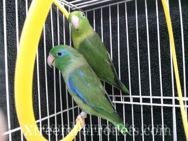 pair of spectacled parrotlets