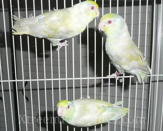 Rare Blue Fallow-Turquoise Pied Parrotlet