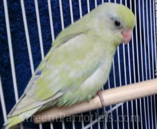 rare-dilute-turquoise-parrotlet
