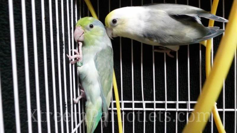 Rare Turquoise Pied Pair Parrotlets