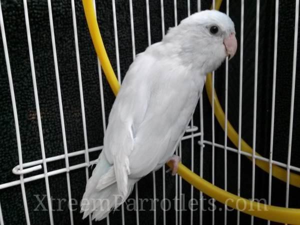 rare-white-gene-parrotlet