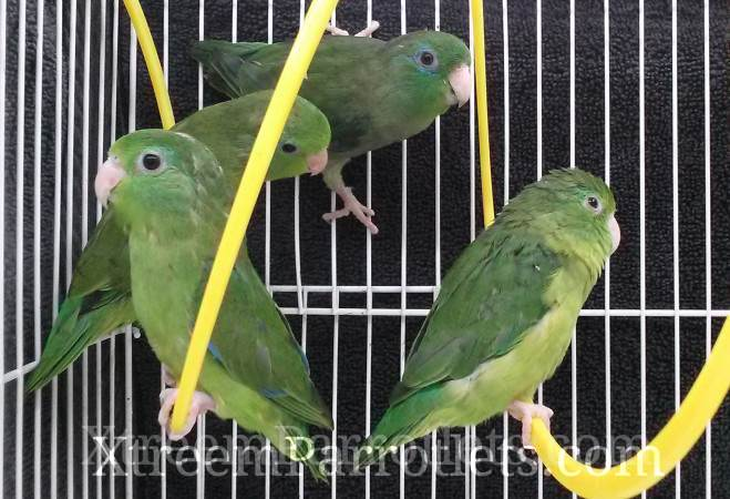 rare spectacled parrotlets group3