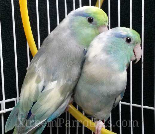 turquoise-pied-parrotlets-for-sale