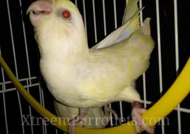 white-fallow-turquoise-pied-bird