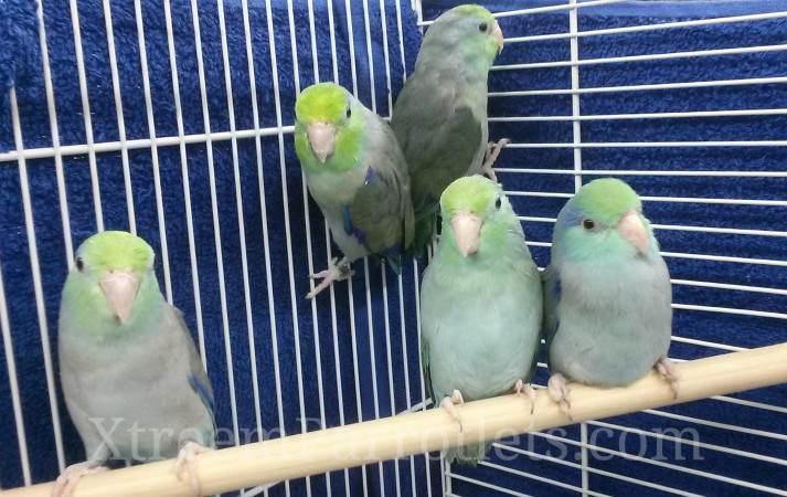 RareTurquoise Green Head Parrotlets