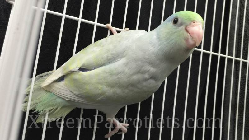 Dilute Parrotlet