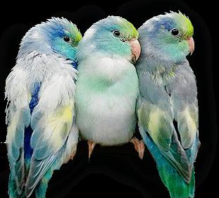 Xtreem Parrotlets