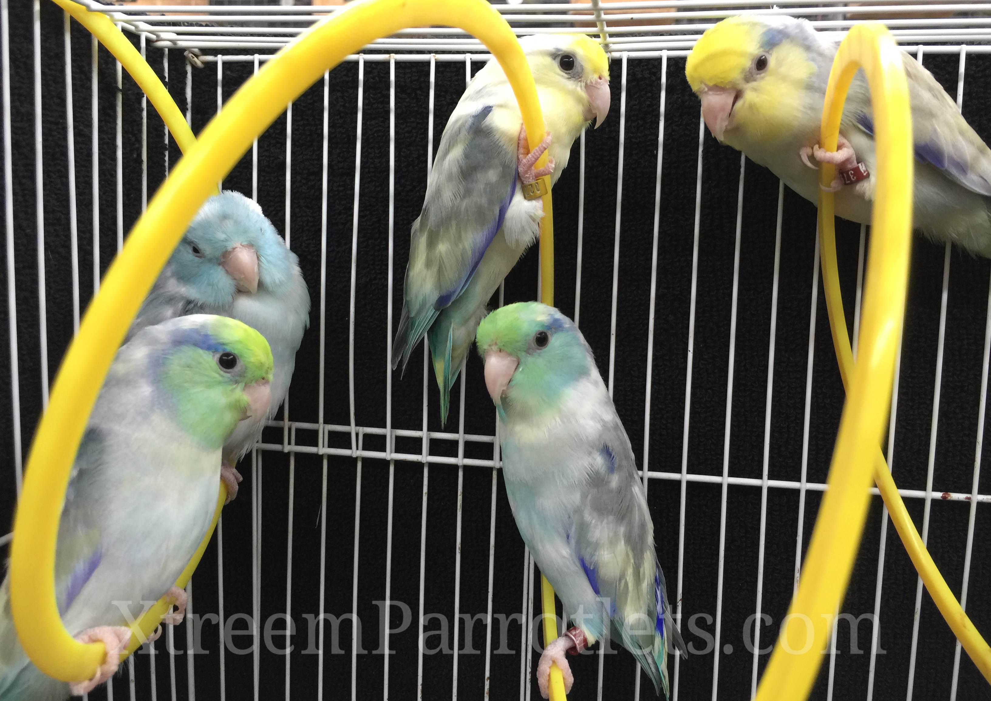 Group of Pied Parrotlets