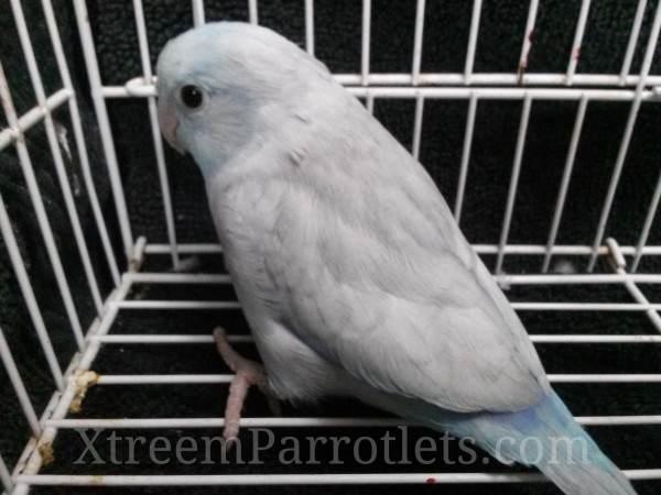 Rare Blue Pastel Parrotlet