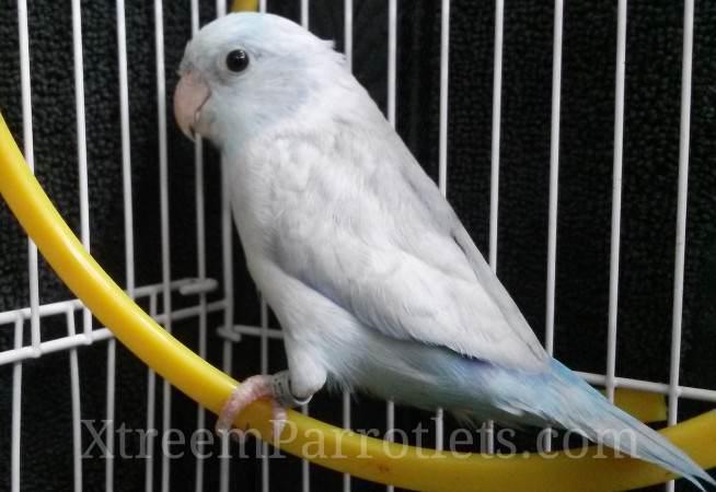 Rare Pastel Parrotlets