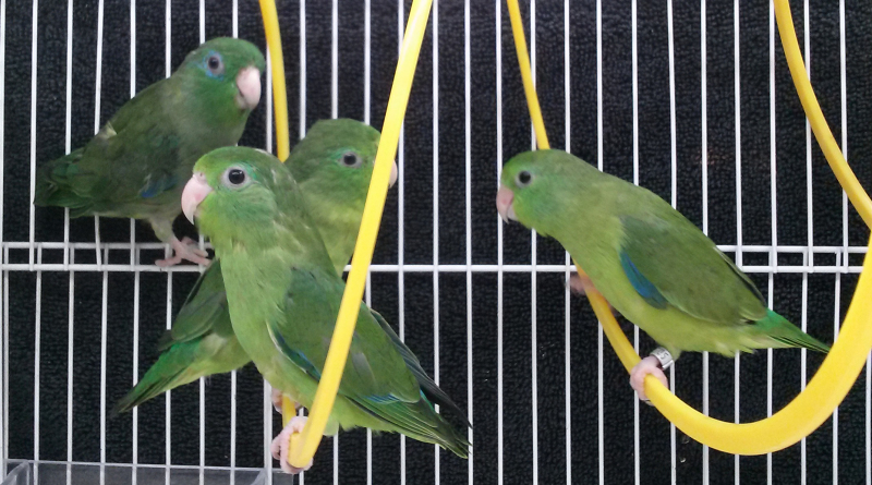 Spectacled Parrotlet For Sale